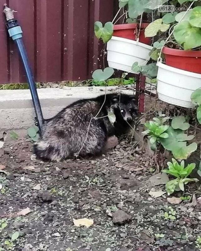 Во двор к запорожцам забралось хищное животное. Фото , фото-1