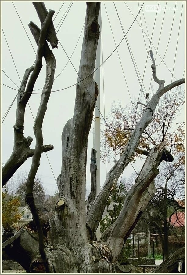"""В Запорожье """"повесился"""" легендарный дуб. Фото , фото-4"""