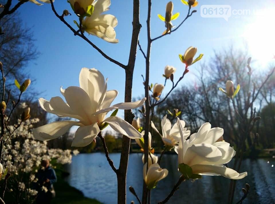 Красота вокруг: в Запорожье цветут магнолии. Фоторепортаж , фото-2