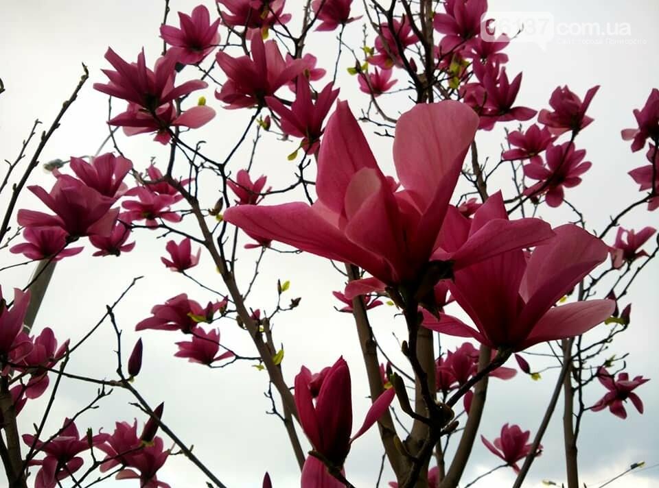 Красота вокруг: в Запорожье цветут магнолии. Фоторепортаж , фото-21