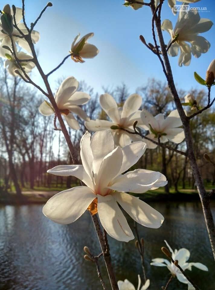Красота вокруг: в Запорожье цветут магнолии. Фоторепортаж , фото-3