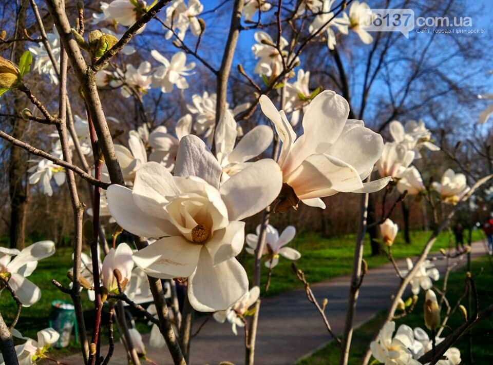 Красота вокруг: в Запорожье цветут магнолии. Фоторепортаж , фото-4