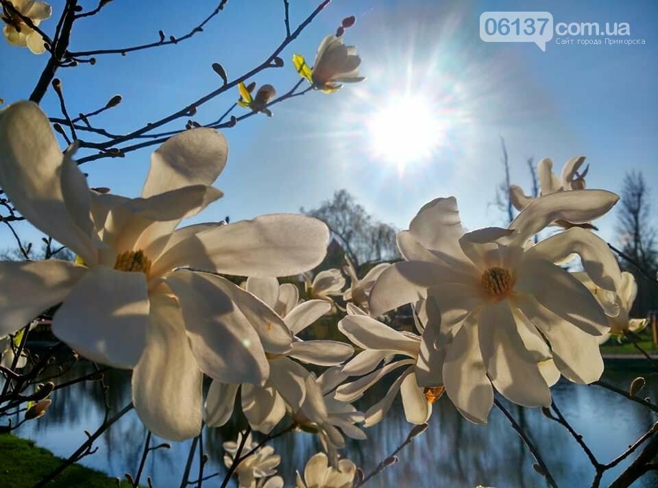 Красота вокруг: в Запорожье цветут магнолии. Фоторепортаж , фото-6