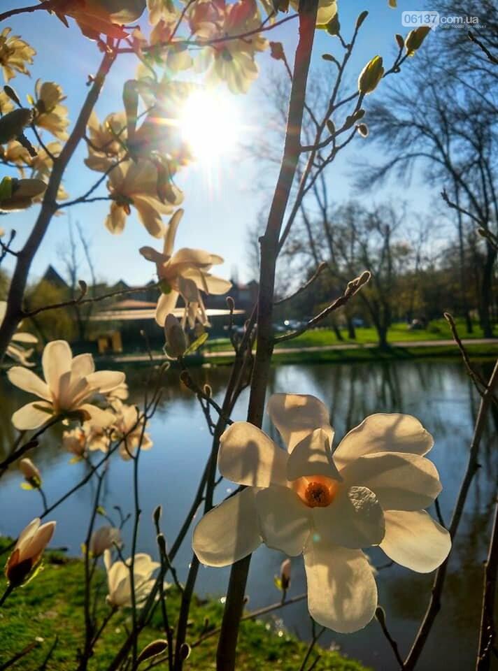Красота вокруг: в Запорожье цветут магнолии. Фоторепортаж , фото-8