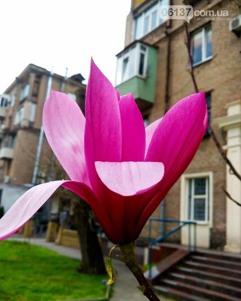 Красота вокруг: в Запорожье цветут магнолии. Фоторепортаж , фото-22