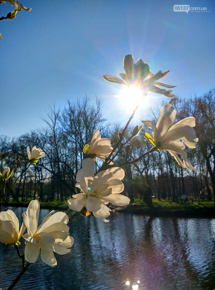Красота вокруг: в Запорожье цветут магнолии. Фоторепортаж , фото-10