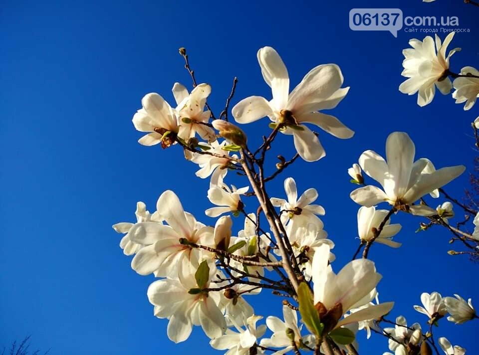 Красота вокруг: в Запорожье цветут магнолии. Фоторепортаж , фото-12