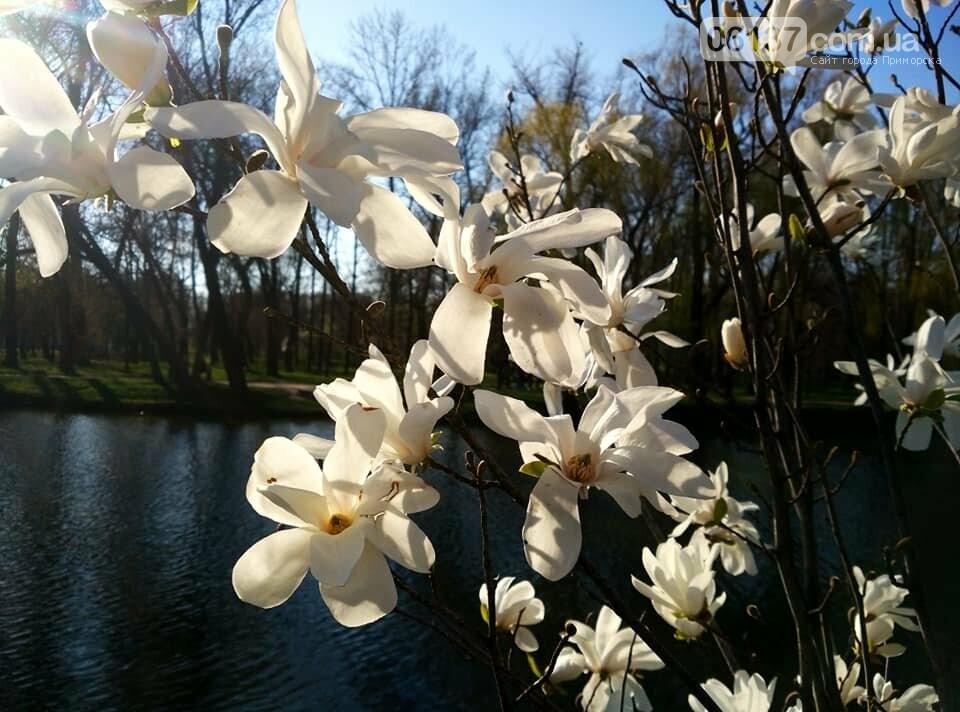 Красота вокруг: в Запорожье цветут магнолии. Фоторепортаж , фото-14