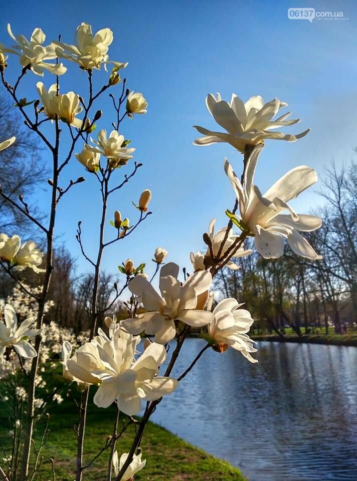 Красота вокруг: в Запорожье цветут магнолии. Фоторепортаж , фото-15