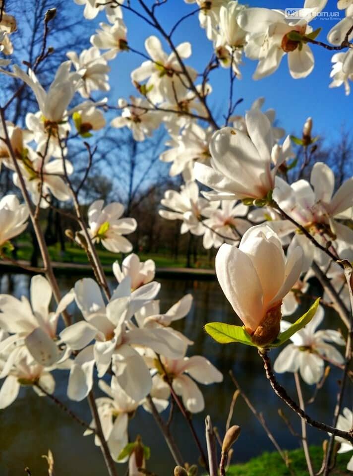 Красота вокруг: в Запорожье цветут магнолии. Фоторепортаж , фото-17