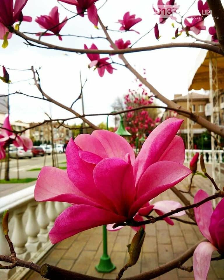 Красота вокруг: в Запорожье цветут магнолии. Фоторепортаж , фото-25