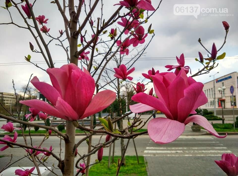 Красота вокруг: в Запорожье цветут магнолии. Фоторепортаж , фото-27
