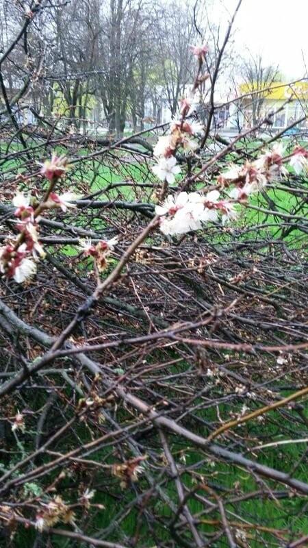 В Хортицком районе Запорожья коммунальщики варварски пилят цветущие деревья. Фото, фото-3