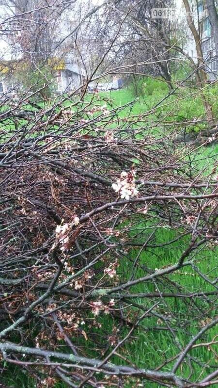 В Хортицком районе Запорожья коммунальщики варварски пилят цветущие деревья. Фото, фото-4