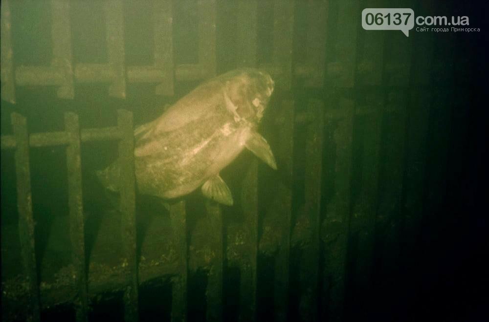 В Запорожье гибнет толстолоб: местный дайвер рассказал о возможных причинах. Фото , фото-1